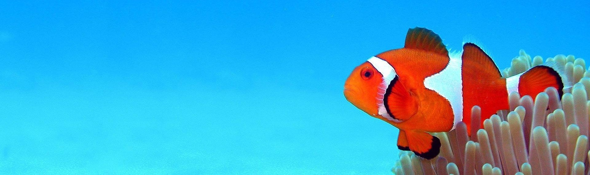 Clown Fish Intro
